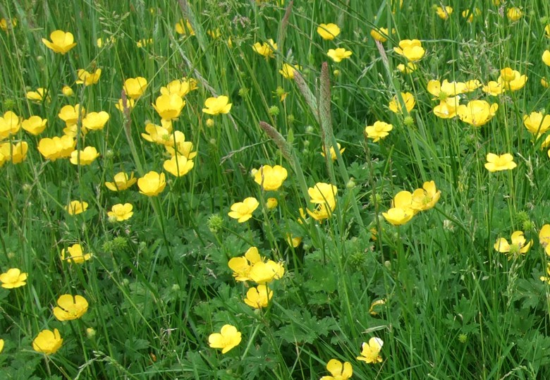 Bulbous Buttercup Is Yellow Flowering Lawn And Turf Weed