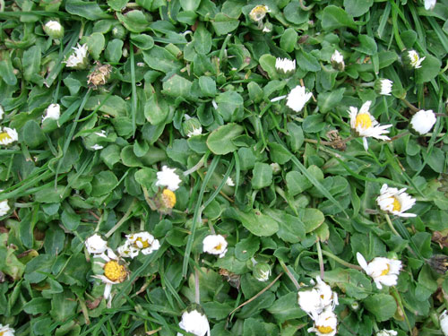 Daisy lawn and turf weed