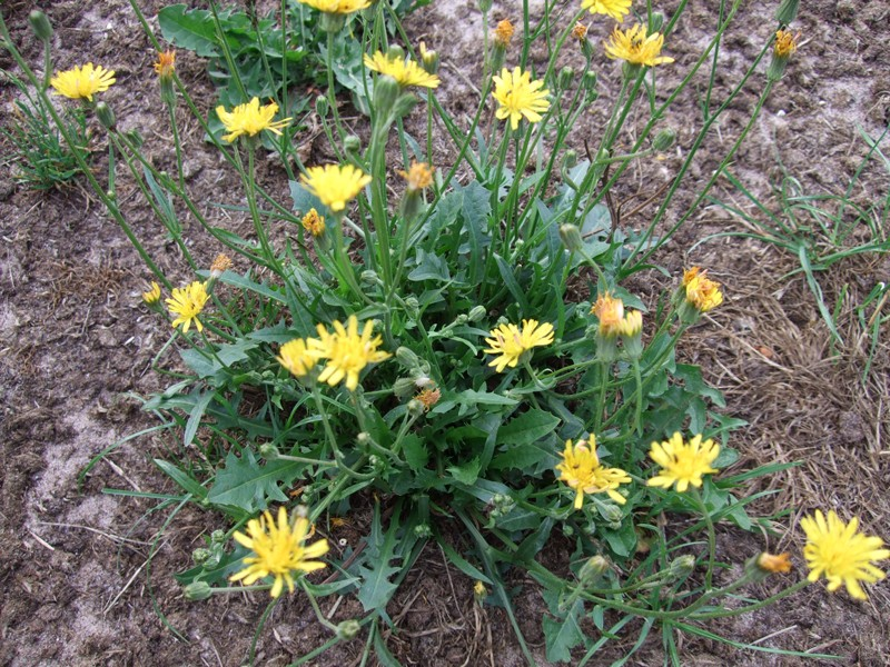 Smooth Hawksbeard Is A Weed On Neglected Lawns And Turf
