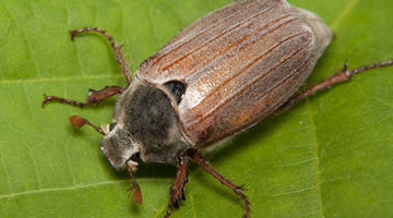 Chafer Beetle - May Bug